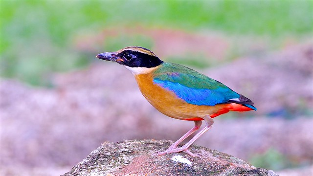 Winter Visitor: Blue Winded Pitta