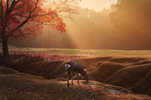nara japan deer sunbeam morning paradise fall autumn