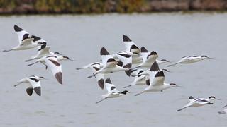 Alfaiate - Recurvirostra avosetta - Avocet