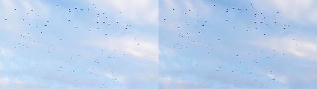 Crows in flight, 4K UHD, stereo cross view