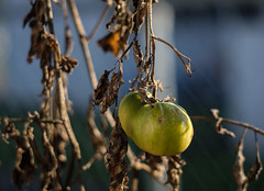 Vine Decayed Tomato