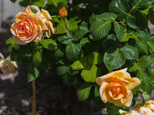 Garden roses (uncropped)   by i-lenticularis