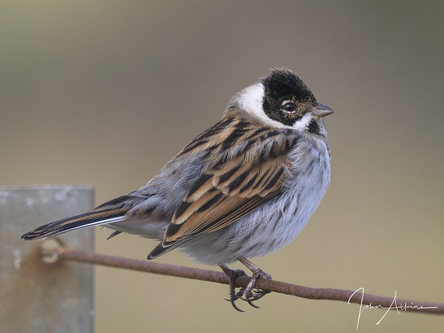 Reed Bunting at Ferry Meadows 08/11/17.