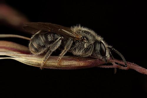 A native bee sleeps on a Wallaby Grass flower