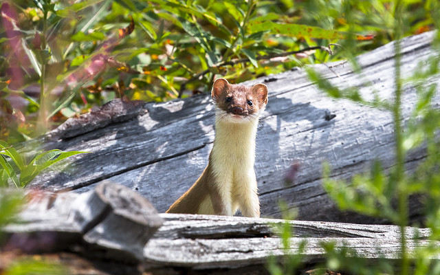 Stoat (or short-tailed weasel)