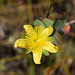 Myrtleleaf St. John's Wort - Photo (c) Adam Arendell, some rights reserved (CC BY-NC)