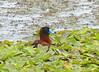 Pato Encapuchado, Masked Duck (Oxyura dominica) (Nomonyx dominicus) by Francisco Piedrahita