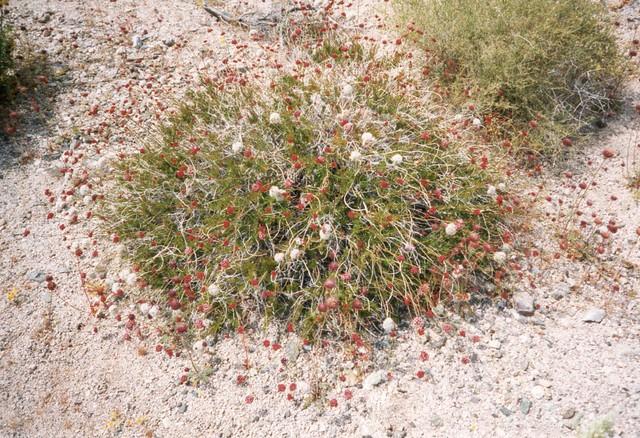East Mohave Buckwheat, Eriogonum fasciculatum var. flavoviride
