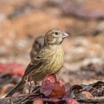 Island Canary (Serinus canaria), juvenile-4181