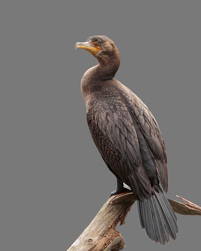 thedoublecrestedcormorant phalacrocoraxauritus johnkelley
