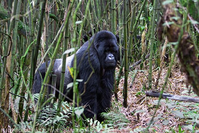 Silverback Mountain Gorilla, Volcanoes National Park - Rwanda