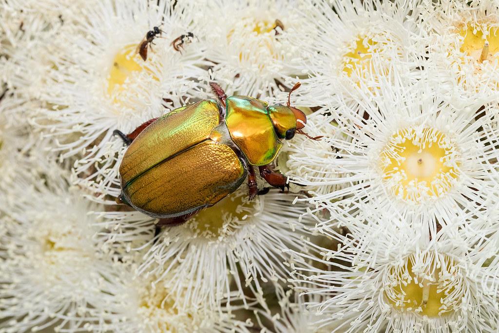 King Christmas Beetle 177 8309
