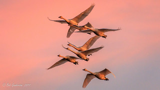 Tundra Swans at Sunset [Explored] | by Bob Gunderson
