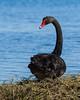 Black Swan (Cygnus atratus) by Trace Connolly Photography