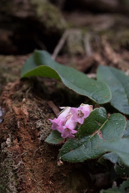 Epigaea asiatica