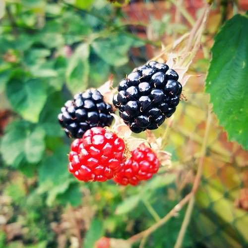 An image of blackberries.