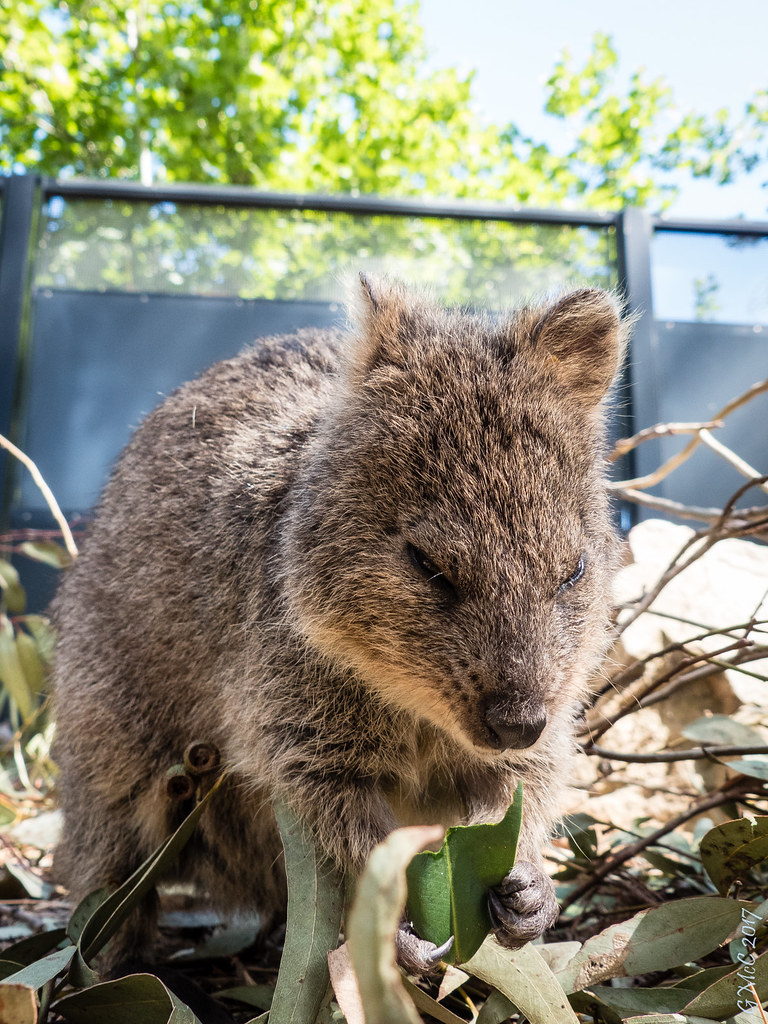 Quokka | Of course I find the angry quokka... | Pursuedbybear | Flickr