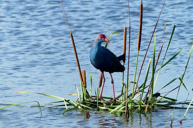 Purple Swamphen - in breeding plumage - at Marshland