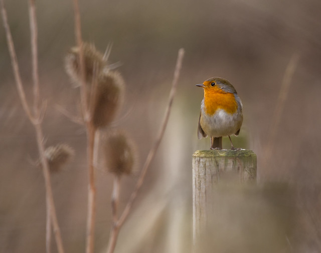 Robin in it's environment.