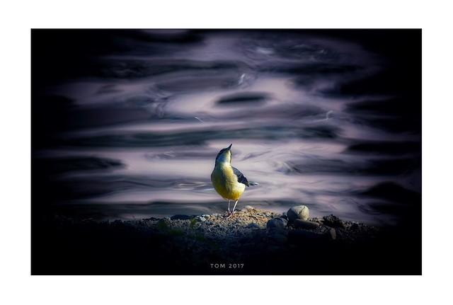 黃鶺鴒 Motacilla flava