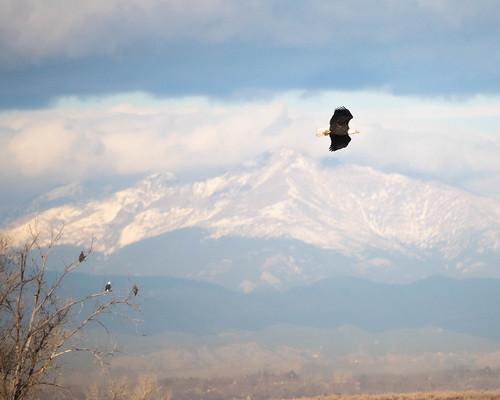 flight rockymountainarsenal events baldeagle wildlife tree seasons cloud bird colorado outdoors adult juvenile fall places mountain denver unitedstates us