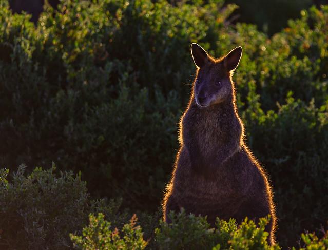 Kangaroo / Wallaby at Phillip Island