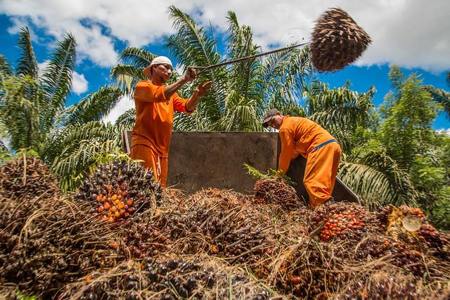 Oil palm in Brazil