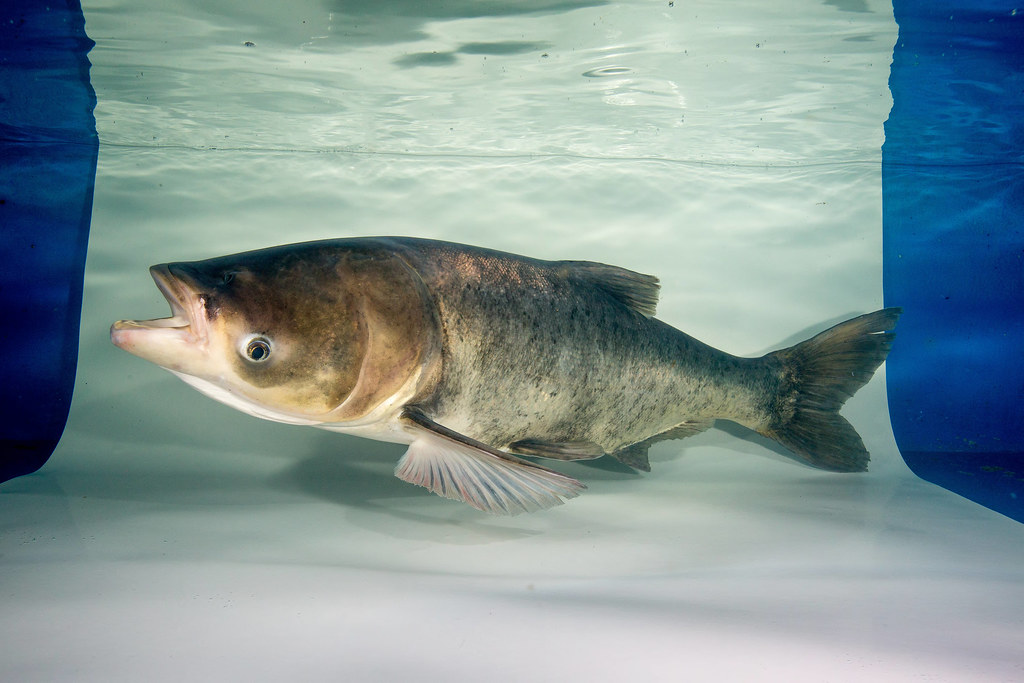 Adult Bighead Carp   Underwater image of an adult bighead ca…   Flickr