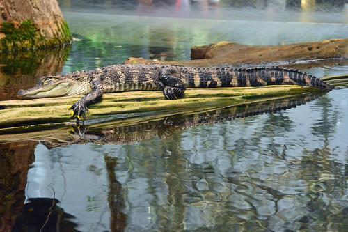 jmstrain alligator chattanooga tennessee aquarium