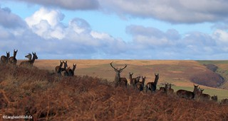 Red deer on Exmoor in November | by Langbein Wildlife