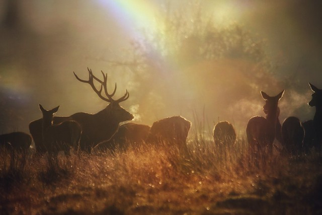 Golden Red Deer Stag and Hinds