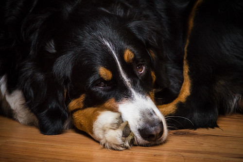 Bernese Mountain Dog | by Htbaa
