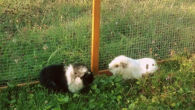 Guinea Pigs in the Summer