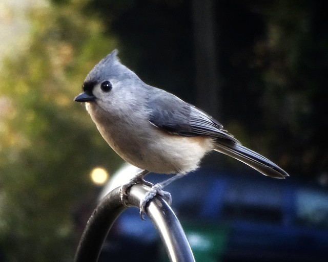 Tufted Titmouse on our Front Yard Feeder | Explored!