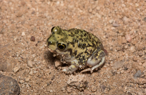 Couch's Spadefoot | by amdubois01