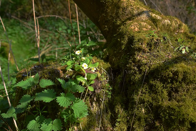 A look back to Spring, when the Primroses were in full swing and Summer just a promise away, a Suffolk Beech Woodland. 08 04 2017