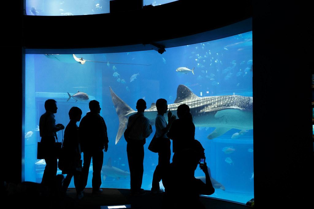 Whale shark   Osaka Aquarium Kaiyukan   Osaka   Japan ...