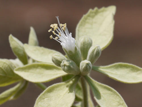 lamiaceae mintfamily climbingshrub symphoremapolyandrum southindianstarvervainclimber મહાસિંધુ दुर्मिळभिंगरी ମହାସିନ୍ଧୁ सिन्धुवार
