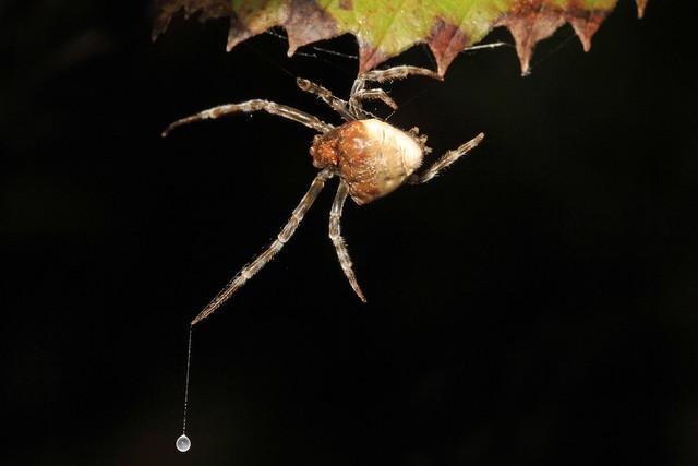 Bolas Spider - Mastophora phrynosoma hunting, Julie Metz Wetlands, Woodbridge, Virginia
