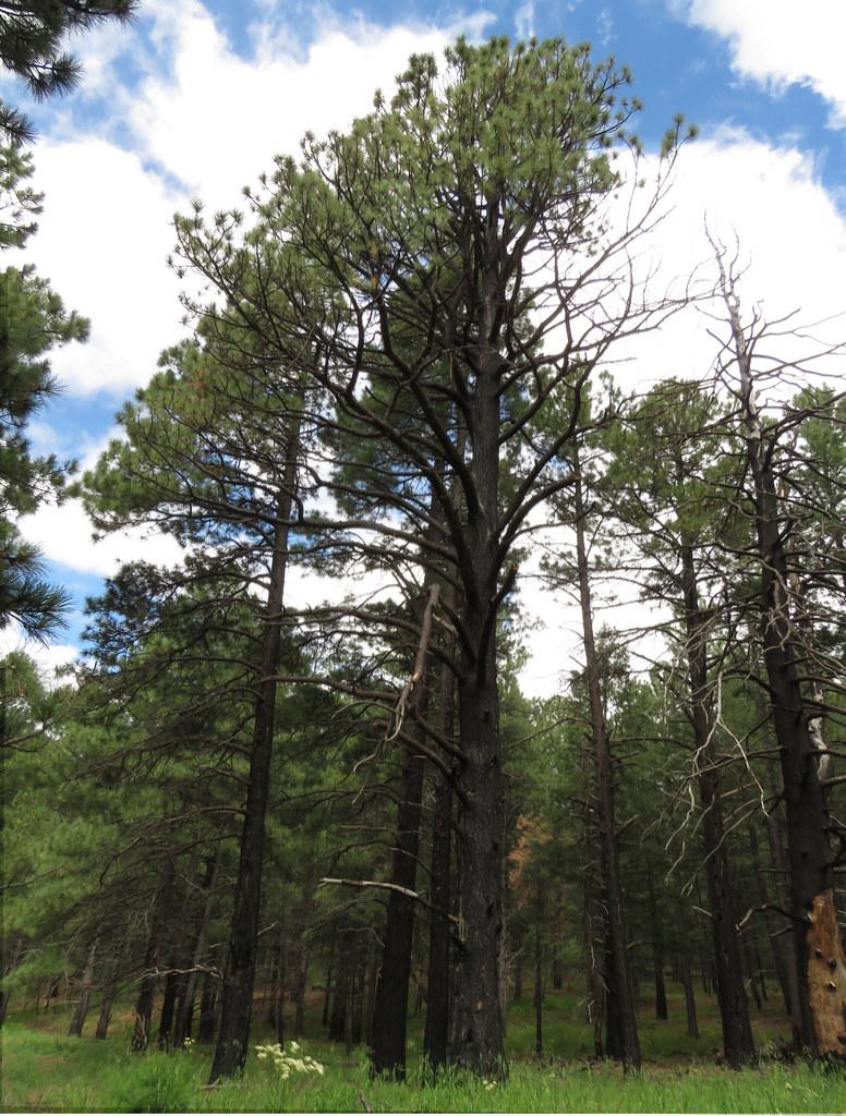 Pinus1225