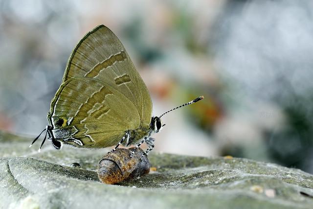 _DSC6649燕灰蝶(墾丁小灰蝶)Rapala varuna formosana雌