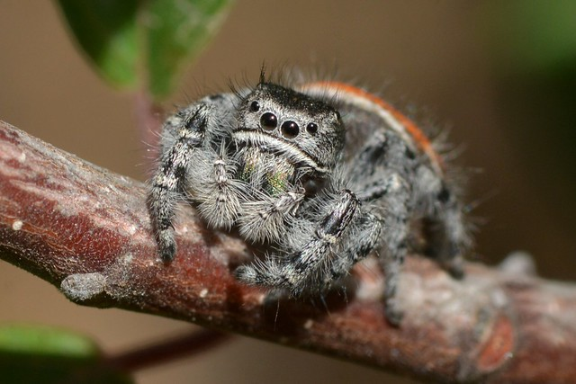 Face to face with a Jumping Spider (Phidippus, Salticidae)