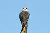 Elanus caeruleus (Black-shouldered Kite) - South Africa by Nick Dean1