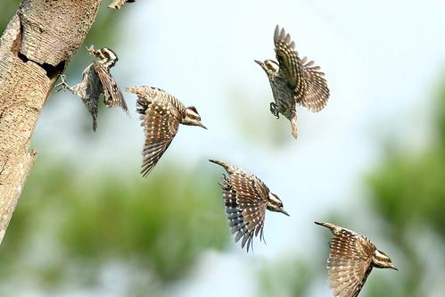 nest sequence browncappedwoodpecker sundawoodpecker