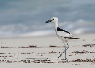 Crab Plover (2 of 3) | by tickspics