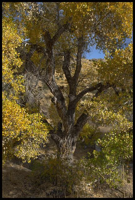 Coronado National Forest #2 2017; Autumn Cottonwood