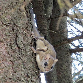 Carolina Northern Flying Squirrel_Clifton Avery_Clifton Avery | by N.C. Wildlife Resources Commission