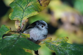 Long tailed tit - Connaught Water