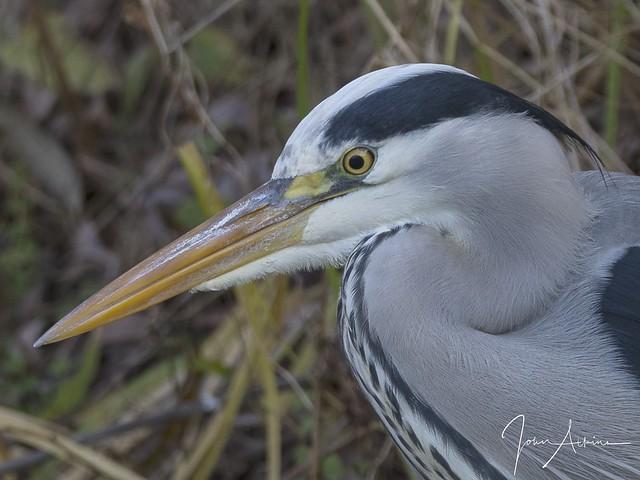 Grey Heron at Ferry Meadows 16/11/17.