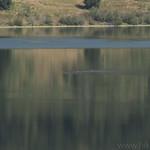 Raft of waterfowl